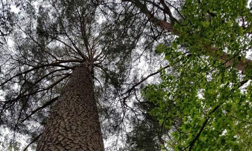 100년만에 개방된 왕의 소나무숲