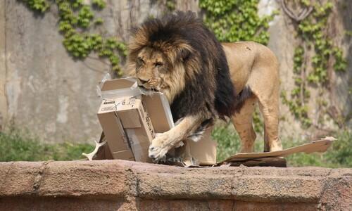 사자는 왜 종이상자에 집착할까