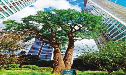 소원 비는 이 없는 나무에 '코로나 종식' 기원하다