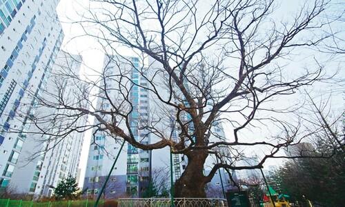 강남 빌딩 숲도 800년 느티나무 풍취보다 높진 않았다