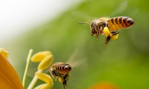 꿀벌의 '내비' 망가뜨리는 이것