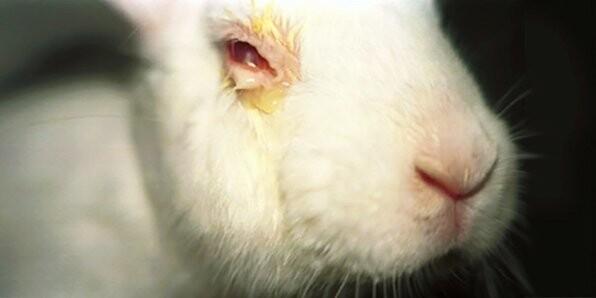 눈물샘이 없는 토끼는 구속된 상태에서 눈에 화학물질을 투입하는 '드레이즈 테스트'에 자주 이용된다. 애니멀 오스트레일리아 제공
