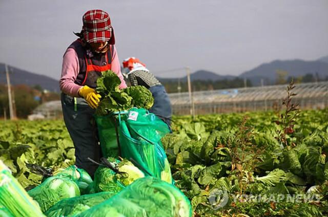 경기도는 농촌지역 한 곳의 모든 주민에게 기본소득을 지급하는 정책실험을 준비중이다. 지난해 농민수당을 도입한 전남 해남군의 한 밭에서 농민들이 배추를 수확하고 있다. 연합뉴스