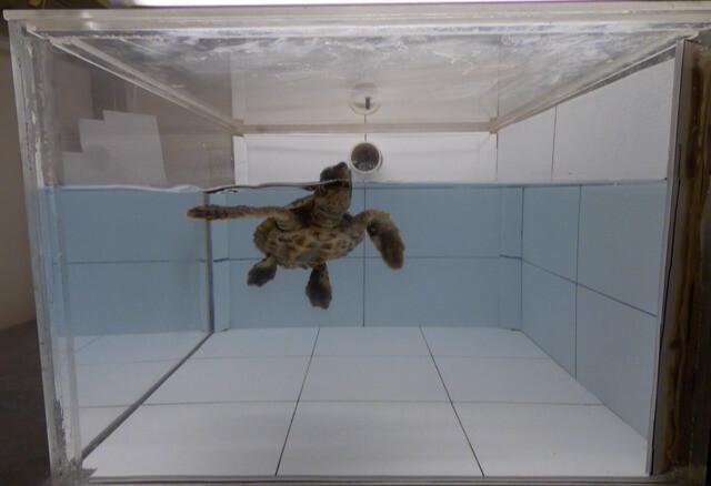 파이프로 여러 종류의 냄새를 흘려보내 바다거북의 반응을 알아 본 실험 모습. 조지프 팔러 제공.