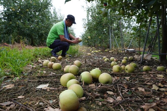 지난 5일 오전 경북 청송군 진보면 시량리에서 사과농사를 짓는 김영길씨가 자신의 과수원에서 태풍으로 떨어진 사과를 살펴보고 있다. 김일우 기자