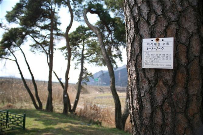 세종시 다른 곳으로 옮겨진 소나무.