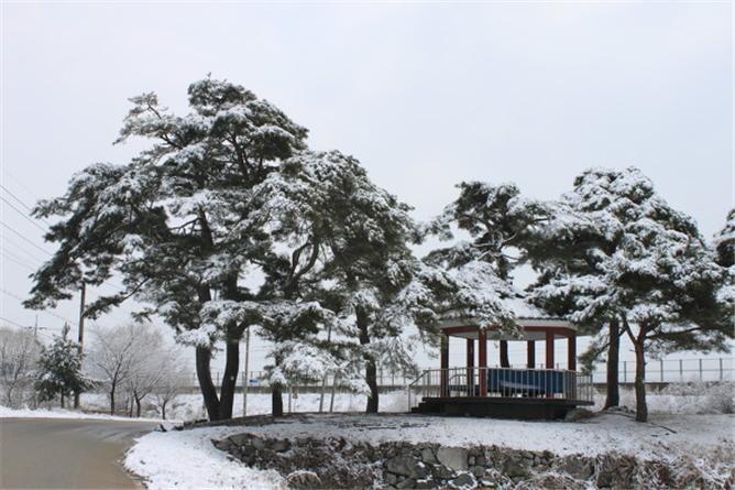 기억 속에만 살아있는 월산리 소나무 동산.