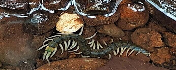 물속 사냥도 하는 '길이 20cm' 대형 신종 지네 발견