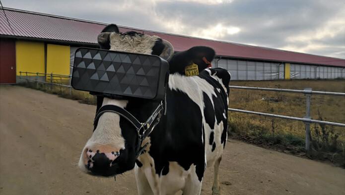 특별 제작한 가상현실 기기를 쓴 젖소. 스트레스가 덜해지는 효과는 확인했다고 한다. 러시아농식품부 제공