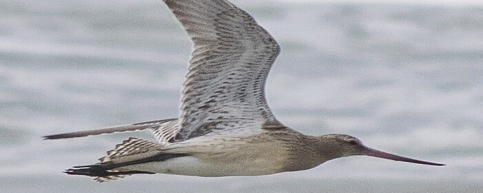 태평양 1만2천 킬로 논스톱 비행 기록 도요새