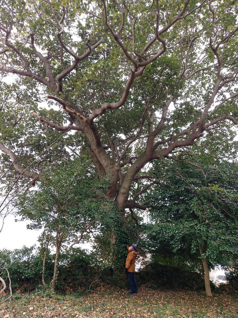 반월도 당숲에 있는 후박나무. 김선식 기자