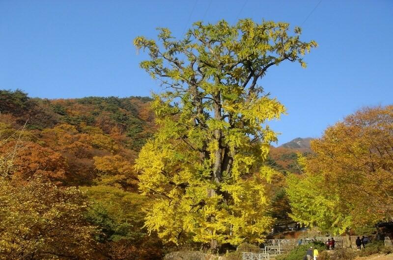 우리나라에서 가장 나이가 많고 키가 큰 것으로 알려진 경기도 양평 용문사 은행나무. 키 42m, 밑동 둘레 15m, 나이 1100살로 추정된다. 문화재청 제공.