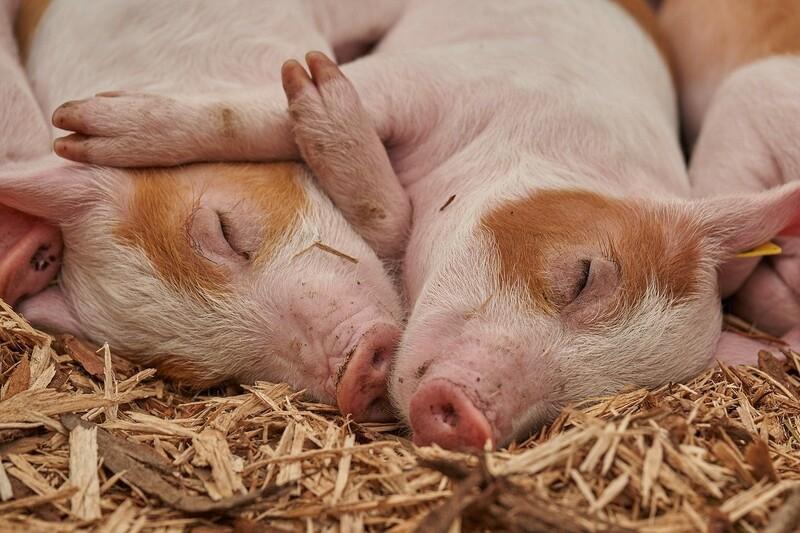 유전자 변형 돼지가 처음으로 식품 승인을 받았다. 픽사베이