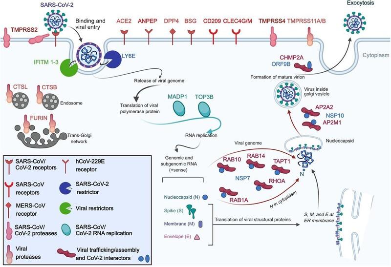 연구진이 감염 위험 분석에 사용한 코로나19 및 코로나바이러스 관련 세포 수용체와 관련 인자들. 셀 리포트 제공 ※ 이미지를 누르면 크게 볼 수 있습니다.