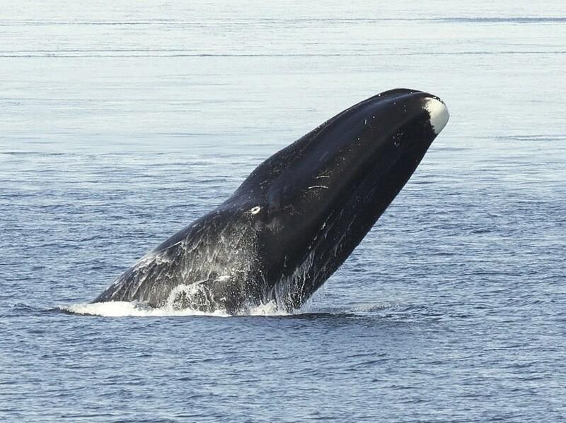 장수동물인 북극고래는 노화질병 등으로 자연수명을 채우지 못하는 것으로 파악됐다. 위키미디어 코먼스