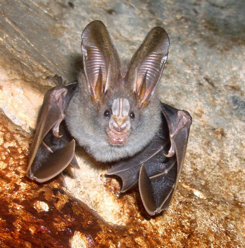 말레이시아에 서식하는 곤충을 잡아먹는 작은위흡혈박쥐. 박쥐는 포유류 종의 20%를 차지할 정도로 다양하게 진화했다. 위키미디어 코먼스 제공.