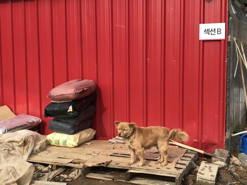 포천쉼터의 명물 '아롱이'는 보호소 내에 머물지만 견사에 수용되지 않고 있는 개체다. 비구협은 아롱이와 야생화된 개들을 점차 순화시켜 수용하는 방법을 택했다. 김지숙 기자 suoop@hani.co.kr