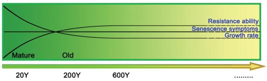 20살, 200살, 600살 은행나무의 나이에 따른 저항 능력(그래프 오른쪽 맨 위), 노화 증상(가운데), 성장률 변화. 나이가 들어도 저항능력, 성장능력이 줄지 않고 노화가 진행되지 않는 것을 나타낸다. 왕 외 (2020) PNAS 제공.