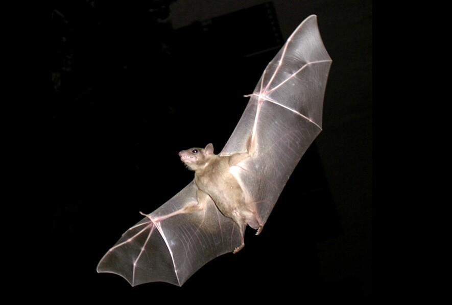 자신의 힘으로 나는 유일한 포유류인 박쥐는 오랜 진화과정에서 비행에 힘입어 종 다양성과 함께 바이러스에 대한 내성을 얻었다. 이집트과일박쥐의 비행 모습. 위키미디어 코먼스 제공.