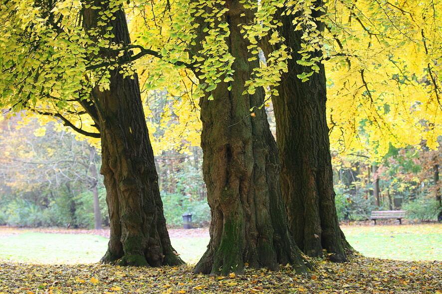 벨기에 공원의 은행나무 고목. 나이가 들어도 노화 현상이 나타나지 않는다. 장 폴 그랑몽, 위키미디어 코먼스 제공.