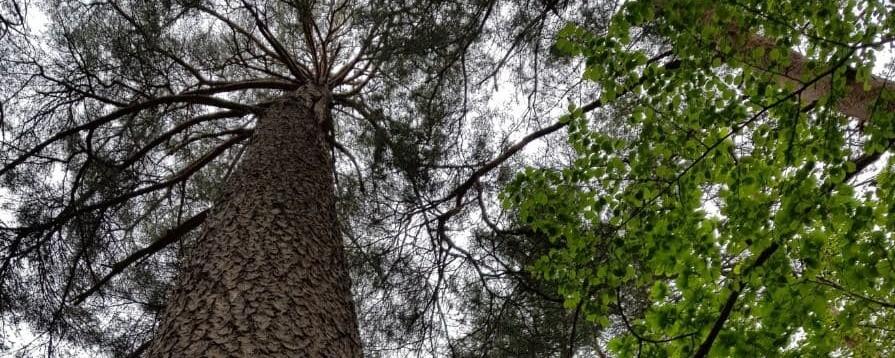 주말에도 깨끗한 고요…100년 만에 열린 '왕의 나무' 숲