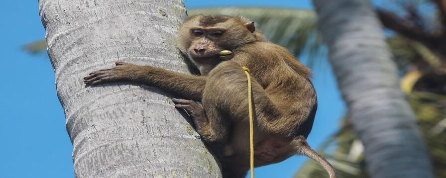 노동과 학대 사이…'원숭이 코코넛 노역'의 진실