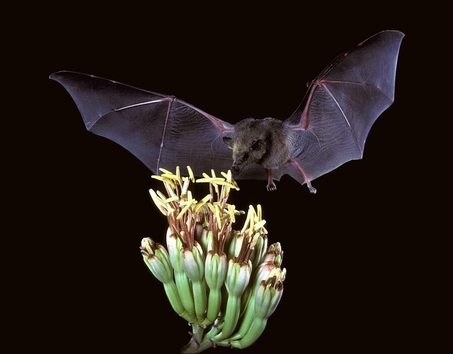 열대 과일이나 식물 가운데는 박쥐가 없으면 번식이 불가능한 종이 있을 정도로 박쥐의 생태적 기능은 크고 다양하다. 꽃을 찾은 멕시코긴혀박쥐. 미국 어류 및 야생동물국, 위키미디어 코먼스 제공.