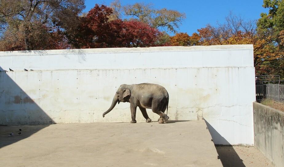 코끼리의 발 건강은 생명과 직결된다. 흙바닥이 아닌 딱딱한 콘크리트 바닥으로 된 방사장에 나와 있는 코끼리. 어웨어 제공