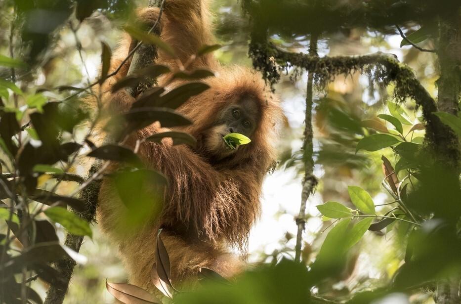오랑우탄은 수마트라오랑우탄, 보르네오오랑우탄 등 두 종이 있었는데, 최근 제3의 종인 타피눌리오랑우탄이 발견됐습니다. 멕시메 앨리아가 제공