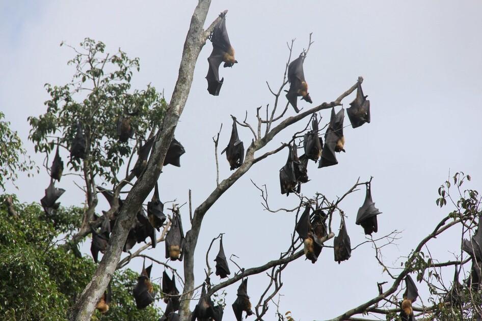 스리랑카에서 대형 과일박쥐 무리가 나뭇가지에 매달려 쉬고 있다. 피터 반데르 슬루스, 위키미디어 코먼스 제공.