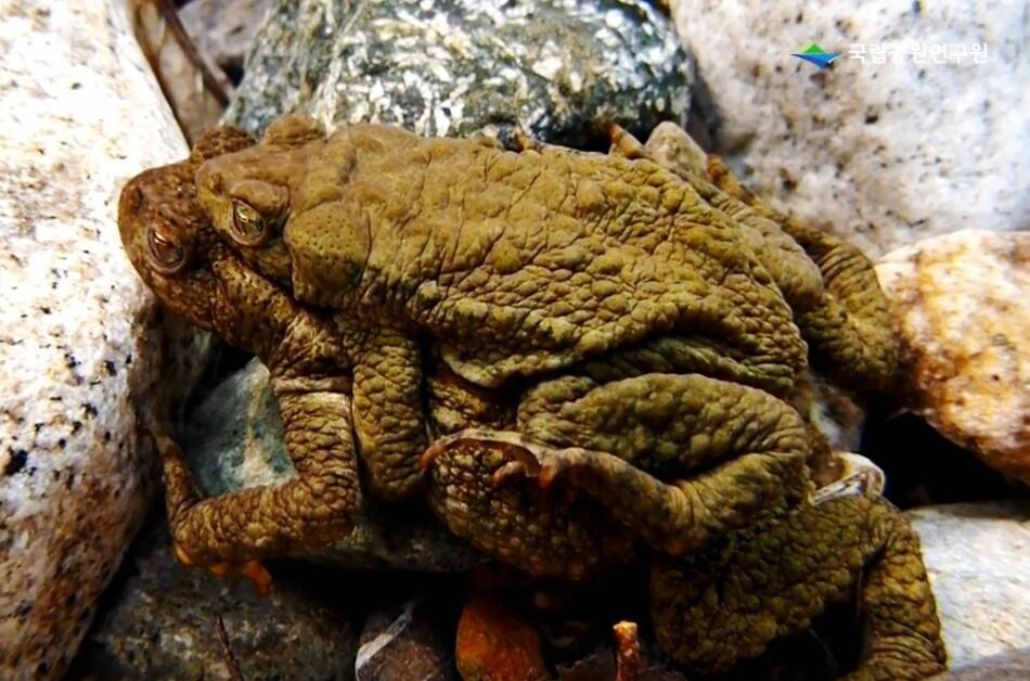 얼음장 밑 계류서 6달 '포접', 물두꺼비 수수께끼