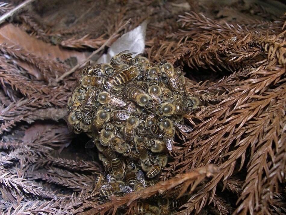 벌통에 침입한 장수말벌을 수백마리의 토종 꿀벌이 둘러싸 '열 공'을 만들어 공격하고 있다. 양봉에서는 발견하기 힘든 행동이다. 다카하시, 위키미디어 코먼스 제공.
