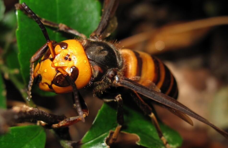 한국 등 동아시아 원산인 장수말벌은 저항 능력을 진화시키지 못한 서양 꿀벌에 치명적 피해를 입혀 국제적인 침입종으로 주목된다. 고이데 야스노리, 위키미디어 코먼스 제공.