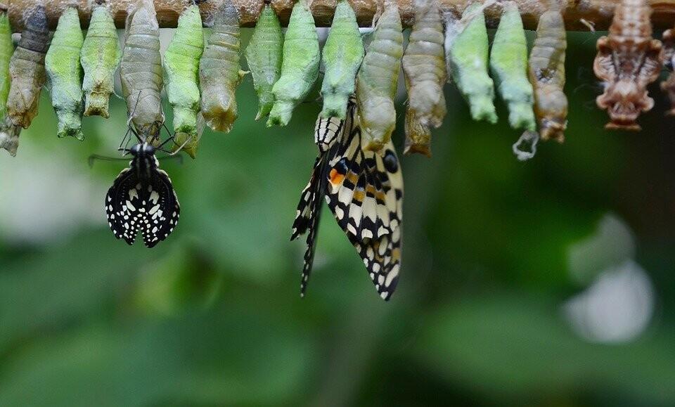 유충에서 껍질을 깨고 나비로 변화되는 과정
