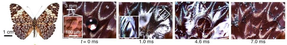 나비 날개에 떨어진 빗방울의 첫 1000분의 7초 동안 모습. 왼쪽부터 날개에 떨어진 물방울, 나노구조 비늘에 의해 퍼져 나가는 모습, 미세 굴곡 때문에 곳곳에서 풍선처럼 부풀어오르는 모습, 터져 작은 물방울로 부서진 모습. 김승호 외 (2020) 'PNAS' 제공