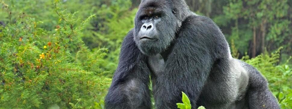 '지구생명보고서 2020'는 아프리카 열대지역 지구생명지수는 감소율이 94%로 가장 충격적이라고 밝혔다. 대표적으로 심각한 멸종위기종으로 꼽힌 콩고 동부 저지대 고릴라. WWF제공
