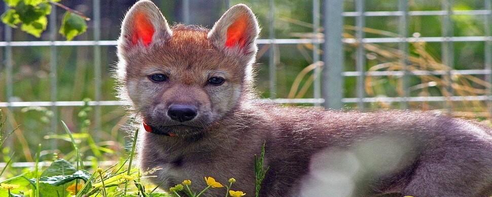 늑대 안에 개 있다? 가르치지 않은 '공 가져와'에 반응하는 아기 늑대