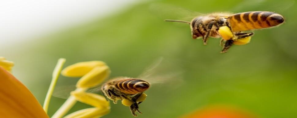미세먼지가 꿀벌의 '내비게이션' 망가뜨린다
