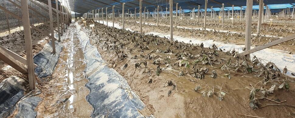 """물 젖은 인삼에 문드러지는 농심…""""총리님, 도와주세요"""""""