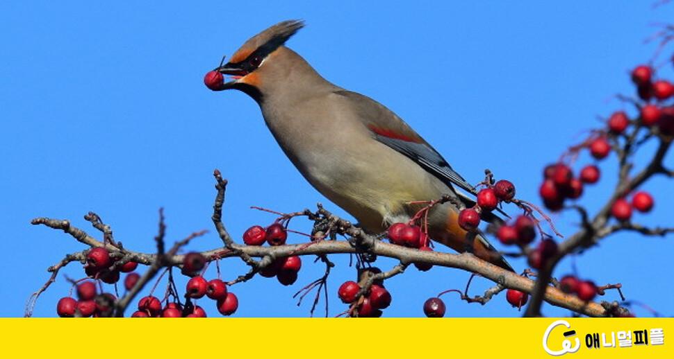 산사, 팥배 열매 '꿀꺽' 홍여새의 겨울나기