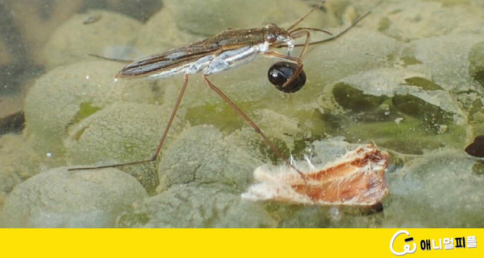곤충의 반격, 소금쟁이가 개구리 알 포식