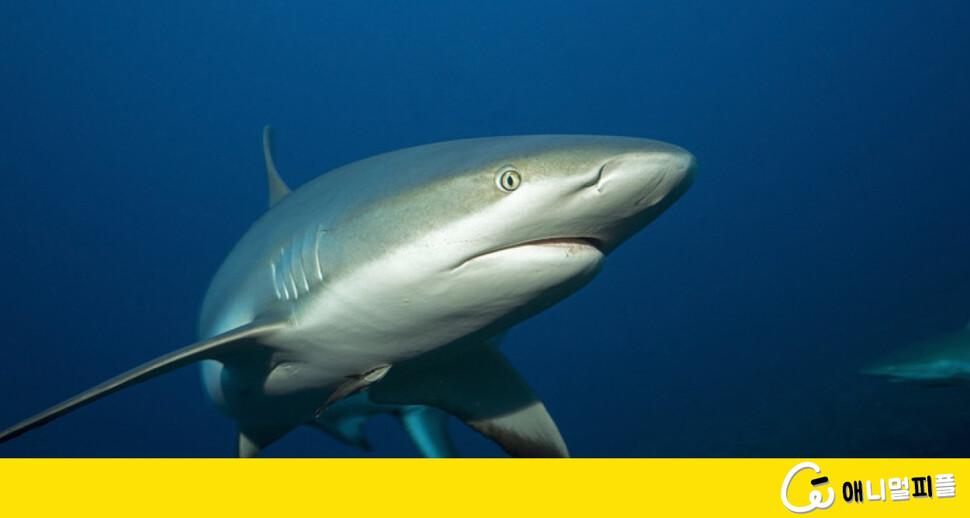 냉동 참치 '지지대'로 쓰인 멸종위기 상어