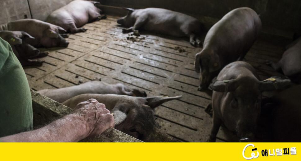 코로나19보다 더한 돼지들의 '팬데믹'