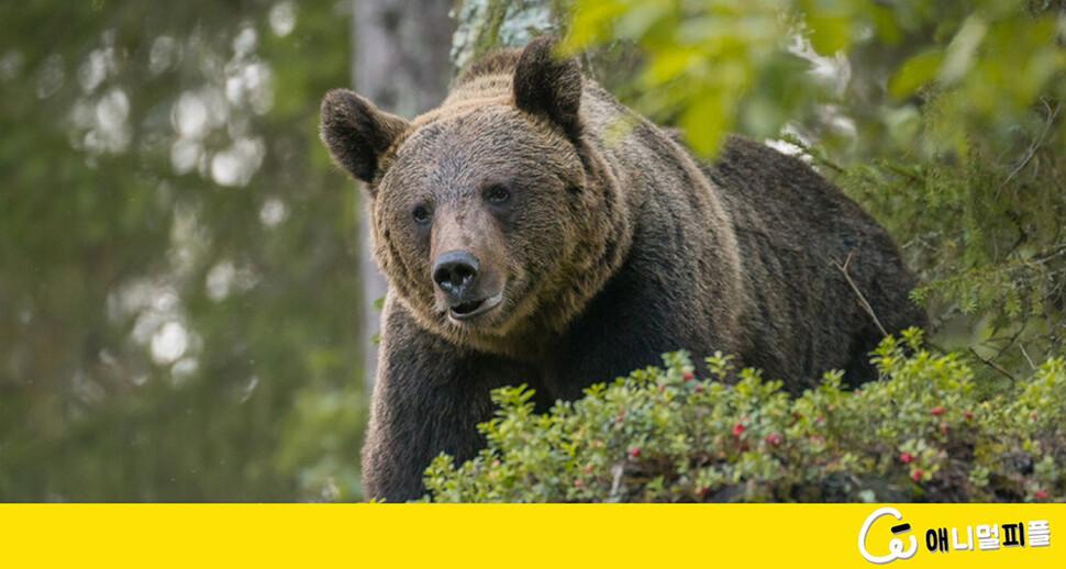 사람과 살기 위해 불곰은 '야근'을 택했다