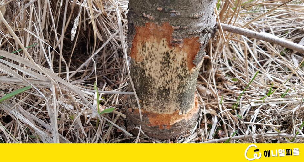 기후변화 더해 들쥐도 지리산 구상나무 위협
