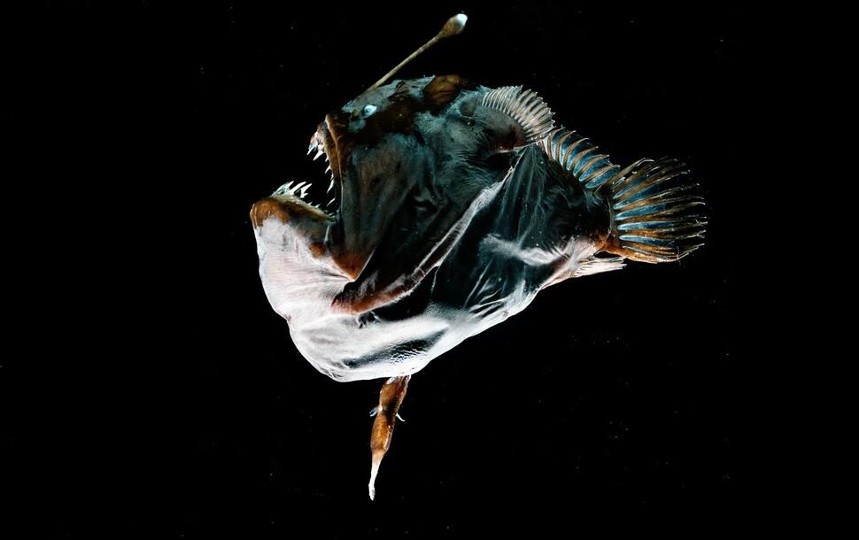 심해 아귀 암컷의 배에 수컷이 기생충처럼 매달려 있다. 수컷은 혈관을 통해 영양분을 제공받는다. 에디트 비더 제공.