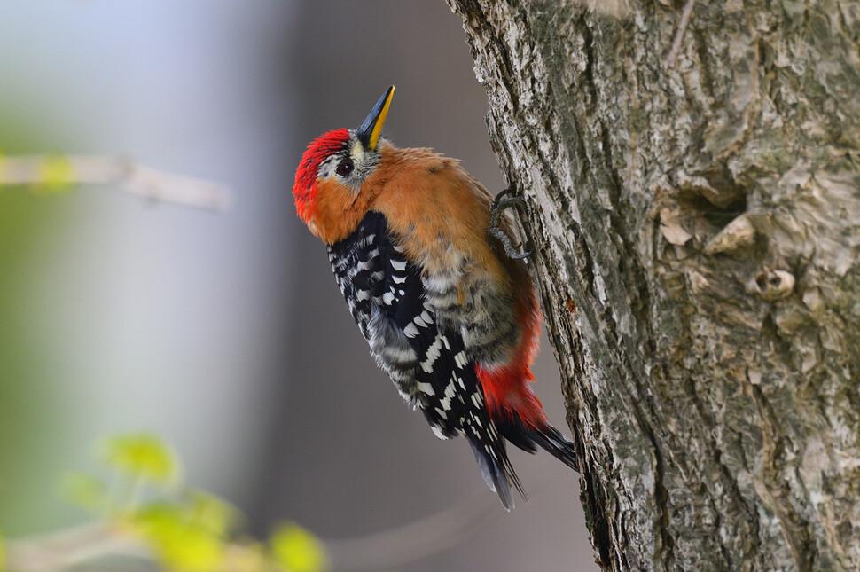 정수리와 아랫배 붉은색이 돋보이는 붉은배오색딱다구리