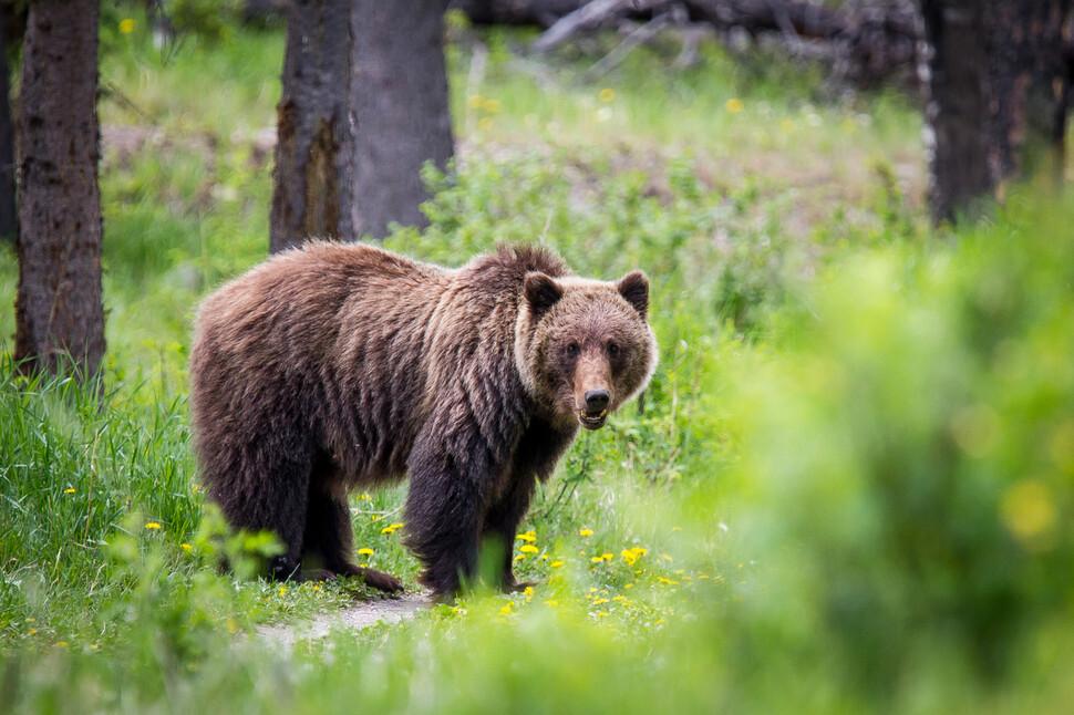 캐나다 재스퍼 국립공원의 불곰. 도시 지역 불곰에 새로운 개체를 공급하는 저수지 구실을 한다. 위키미디어 코먼스 제공