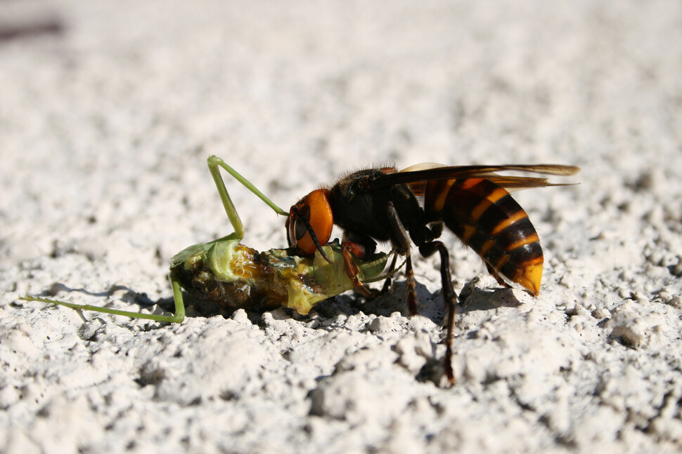 사마귀를 사냥해 먹고 있는 장수말벌. 생태계의 최상위 포식자이다. 조 캐리, 위키미디어 코먼스 제공.
