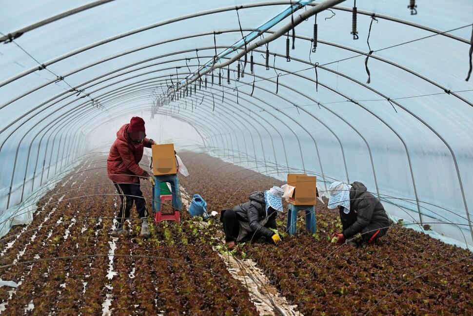 지난달 12일 경기도 외곽의 한 농장 비닐하우스에서 캄보디아 출신 이주노동자 프까와 동료들이 상추를 수확하고 있다. 김명진 기자 littleprince@hani.co.kr